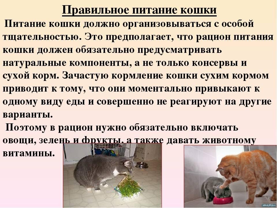 Как правильно кормить кошку. инструкция и таблица с меню