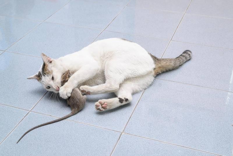 Кто лучше ловит мышей кот или кошка: какие породы