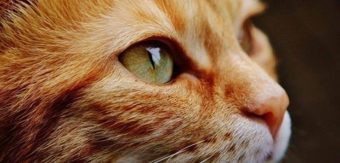 Как почистить уши коту или кошке в домашних условиях, чем чистить их взрослому животному или котенку в профилактических и лечебных целях