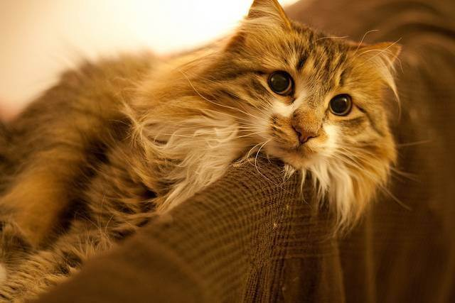 Кошка сильно линяет? причины и рекомендации