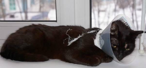 Сколько нужно носить воротник коту после кастрации?