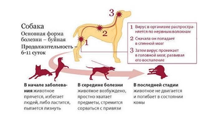 Признаки бешенства у кошек, чем опасно заболевание и как помочь питомцу?