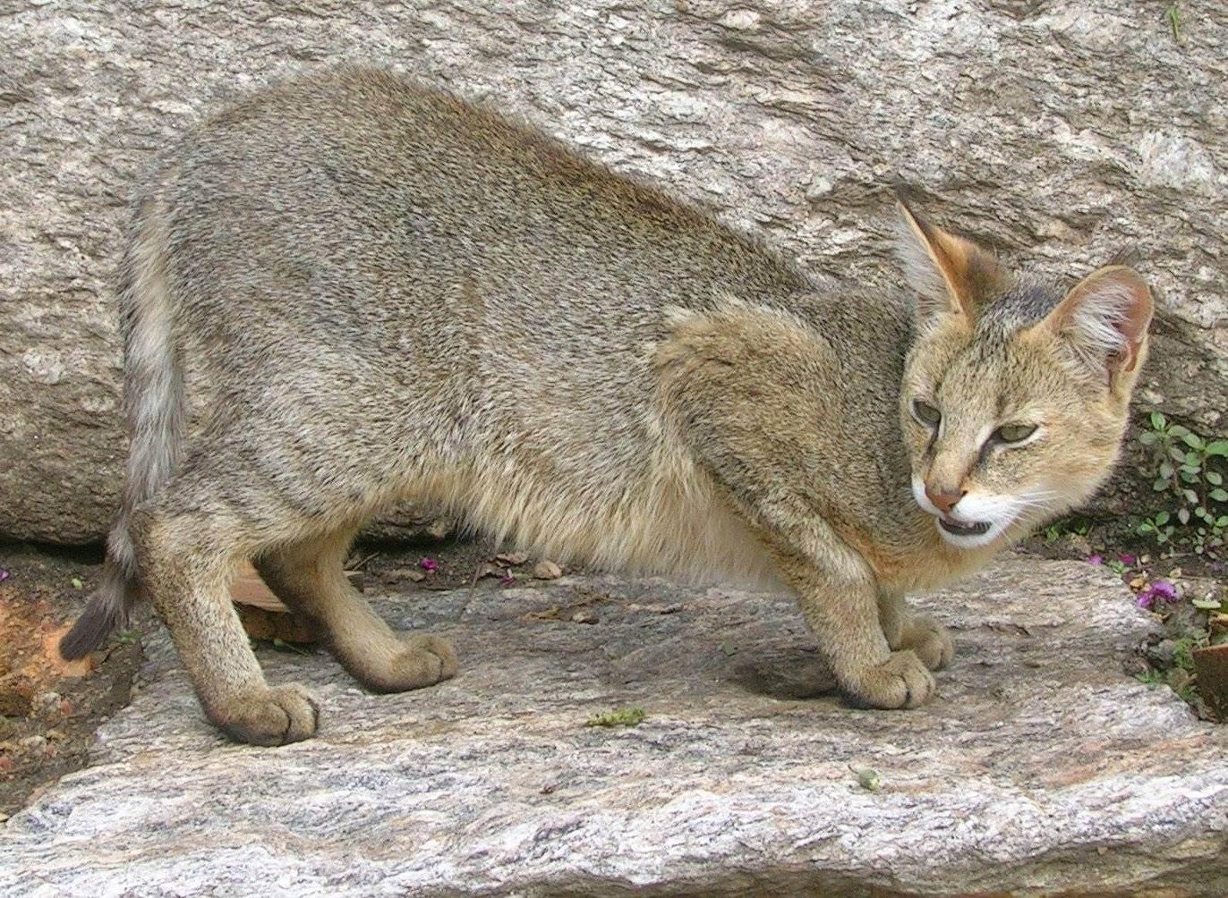 Камышовый кот - полудикий кот и особенности ухода за кошкой в домашних условиях (110 фото)