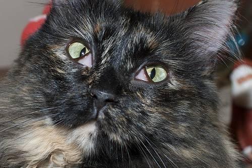 Почему видно третье веко у кошки и как с этим бороться?