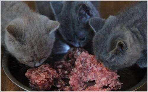 Корм для британских кошек: чем лучше кормить британцев и что важно учитывать при выборе?