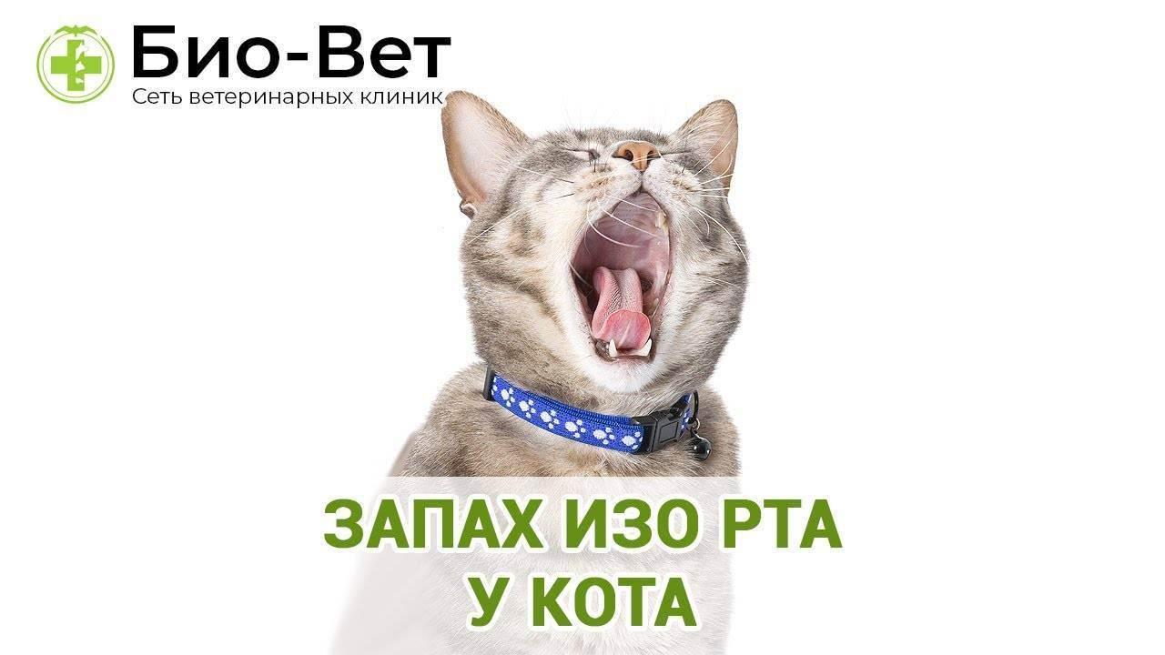 Почему у кошки пахнет изо рта - что делать, когда обращаться к ветеринару
