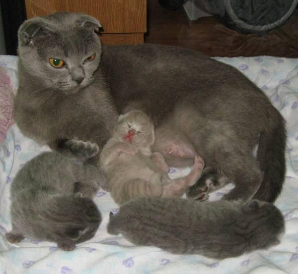 Сколько кошка вынашивает котят в животе?
