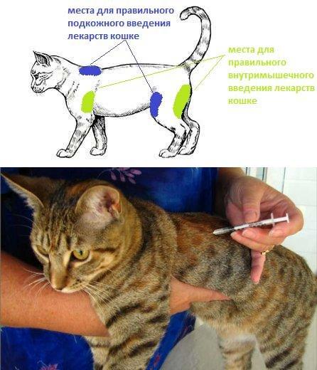 Как кошке или коту сделать укол (в том числе в холку, в бедро, в ногу): внутримышечная, подкожная инъекция и капельница в домашних условиях
