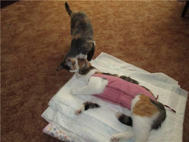 Сколько отходят кошки от наркоза после стерилизации, как помочь животному? - animallist.ru