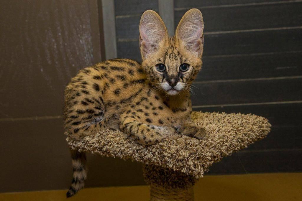 Сервал (фото): грациозная кошка с самыми длинными ногами