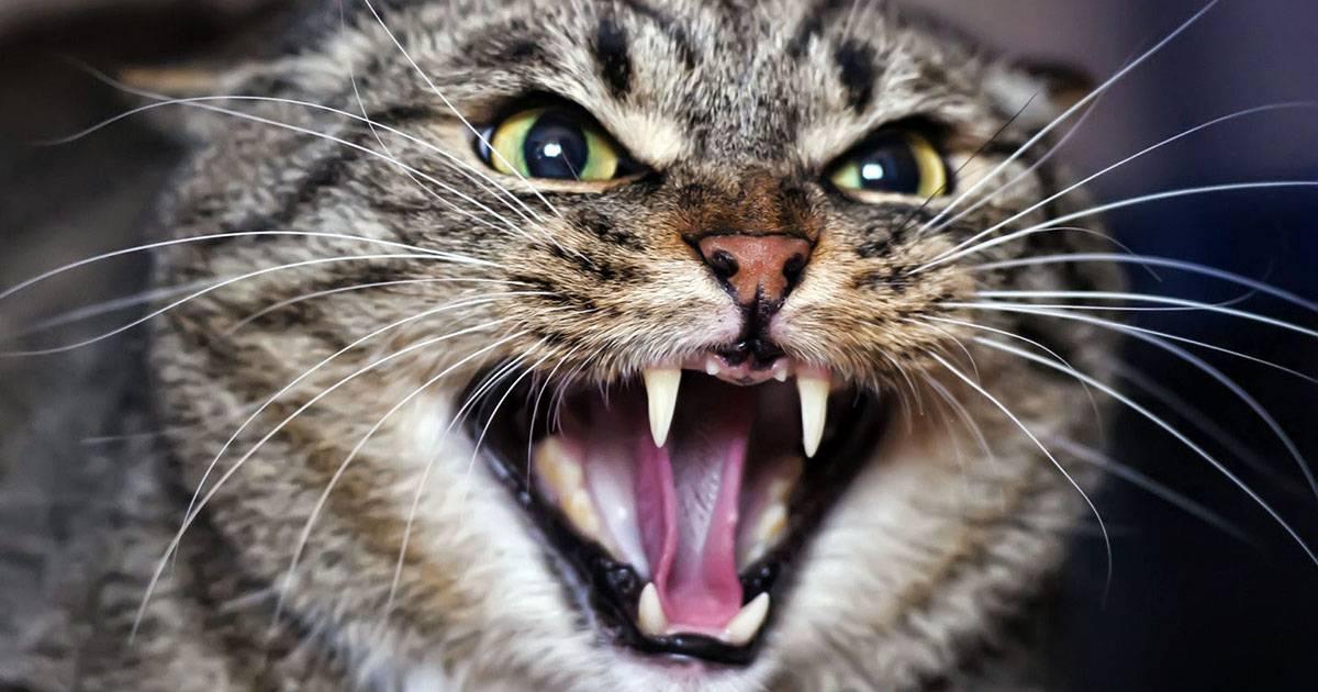 Кошка шипит: инстинкт, заболевания, проявление страха