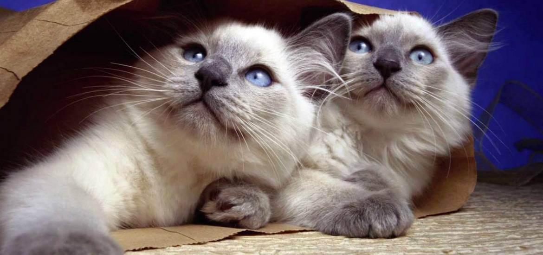 Клички для тайских котов и кошек
