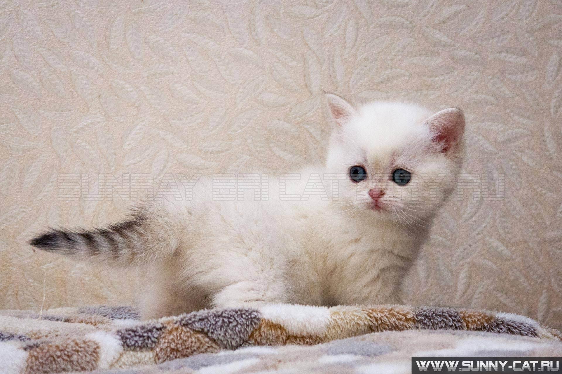 Как назвать британского котенка-подбираем имена и клички для котов и кошек