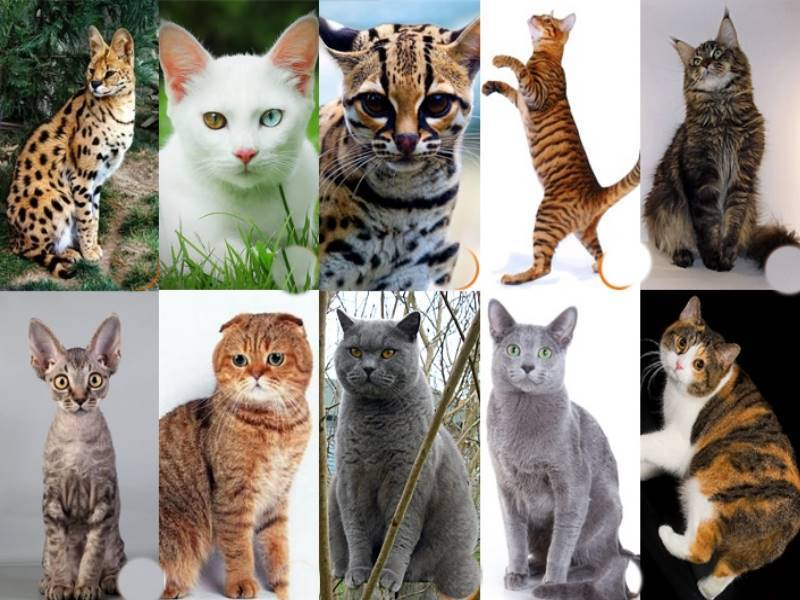 Как узнать породу кошки по фото, окрасу и длине шерсти?