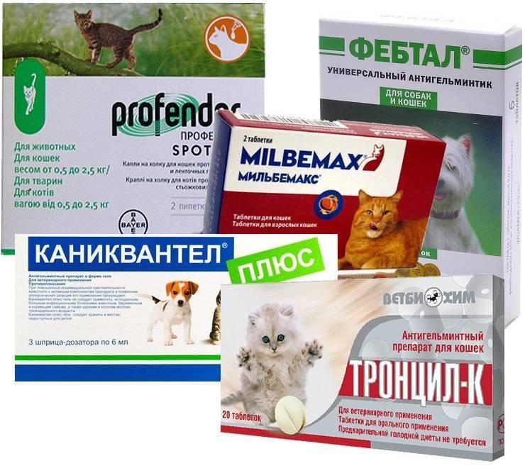 Глисты у кошек и котов - симптомы и признаки, лечение в домашних условиях