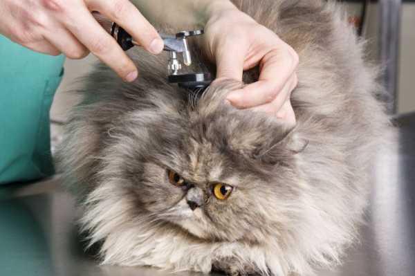 Почему у кошки горячие уши? полный список возможных причин