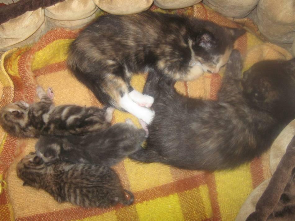 Чем кормить котят, если у кошки нет молока: смеси, заменители молока, режим кормления, витамины и добавки
