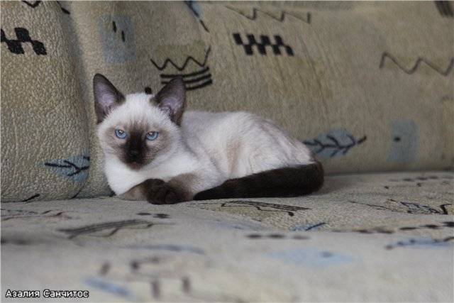 Чем кормить тайскую кошку: лучшие корма + натуральное питание чем кормить тайскую кошку: лучшие корма + натуральное питание