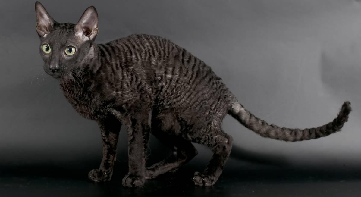 Топ 10 пушистых пород кошек — список, характеристика и фото