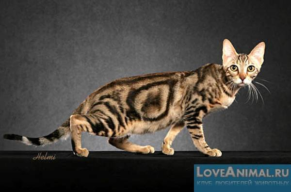 Кошка сококе: цена, фото, описание породы, видео, отзывы владельцев