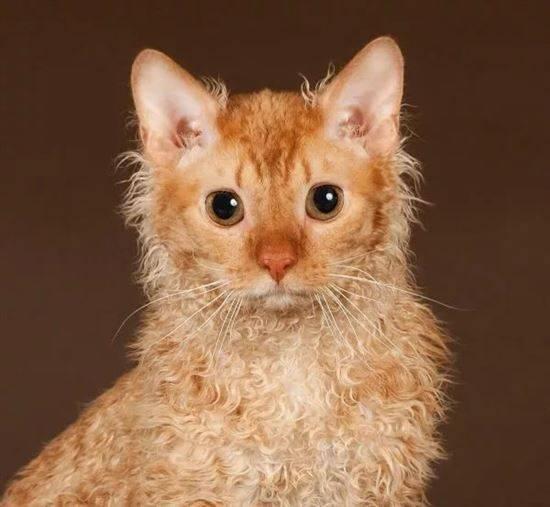 Корниш-рекс: описание породы, характер кошки, советы по содержанию и уходу, фото, отзывы