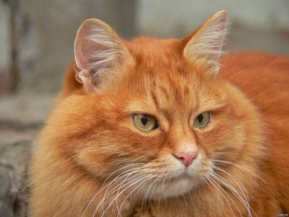 Породы рыжих кошек с фотографиями и названиями