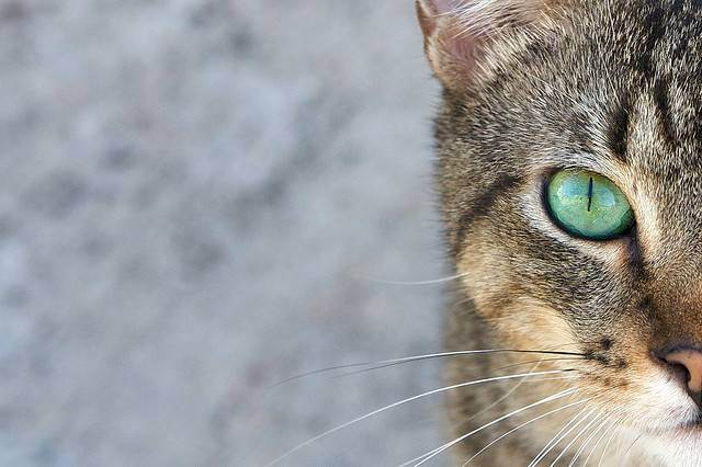 Мегаколон у кошек: причина и лечение кишечной патологии