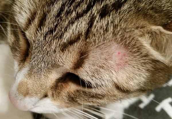 Панлейкопения кошек. кошачья чумка - лечение, профилактика