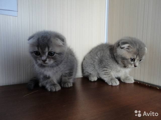 Имя для кота шотландского вислоухого мальчика — какая кличка