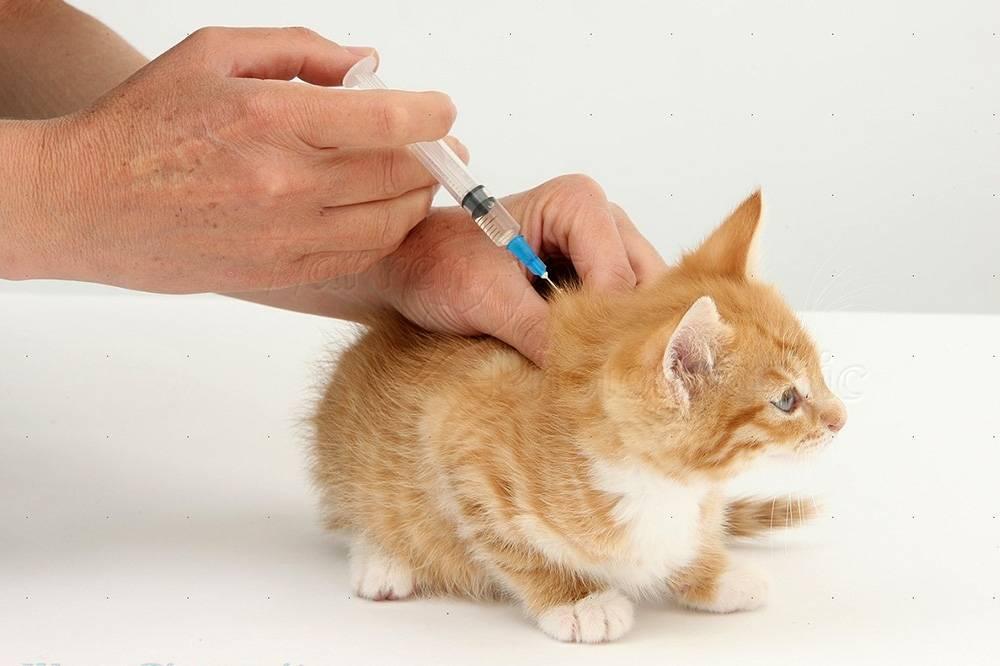 Осложнения у кошки после прививки от бешенства и других болезней
