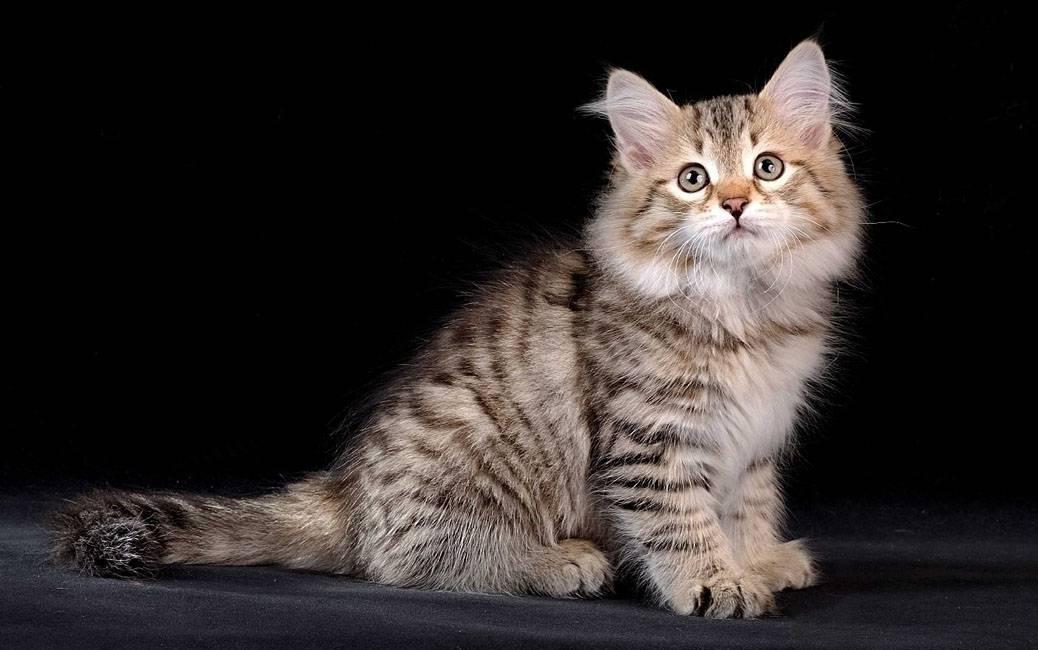 Разведение сибирских котят: характеристика породы, правила ухода, фото котов