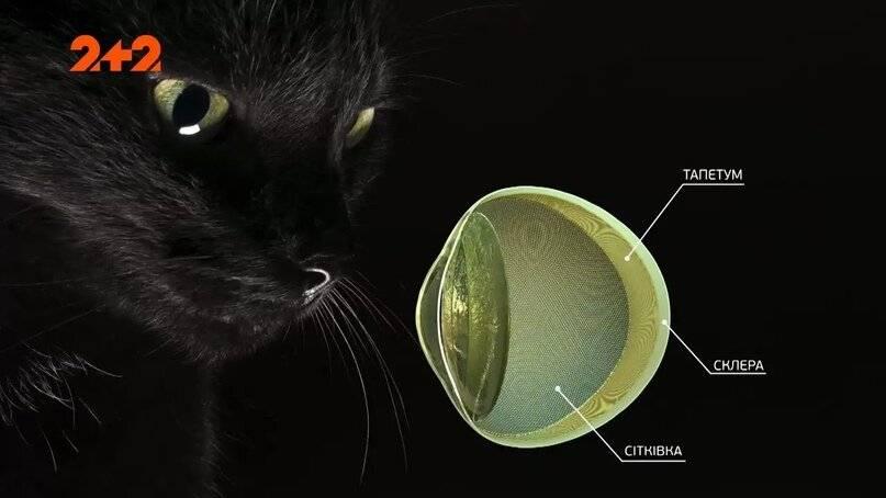 Болезни глаз у кошек: обзор
