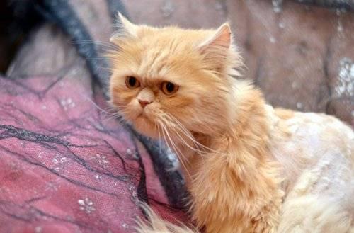 Продолжительность жизни персидских котов