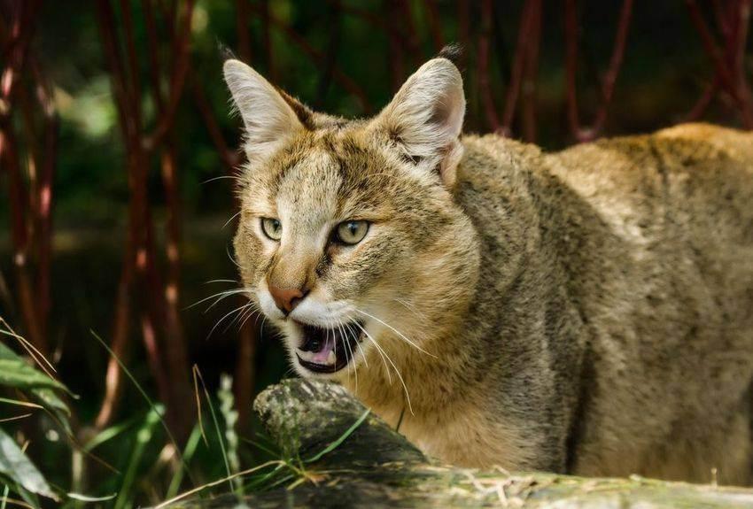 Камышовый кот фото, описание, ареал, питание, враги