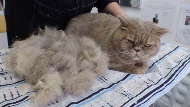 Правила и рекомендации о том, что делать, если кошка сильно линяет