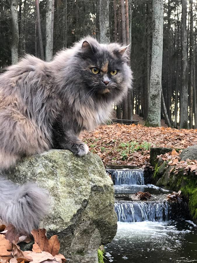 Выгул кошек: фото, необходимость, польза, исследования