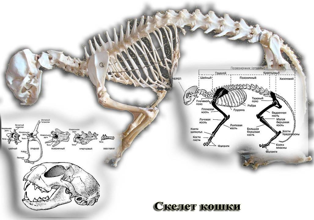 Скелет у кошек и котов: особенности анатомического строения черепа, поясницы, хвоста, крестца и зубов котят и взрослых животных, фото