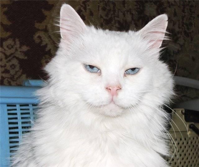 Белая кошка: обзор пород со снежным окрасом