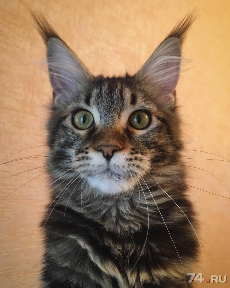 Кошка мейн-кун  подробная статья про крупную породу кошек.