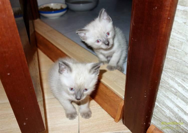 Как научить котенка кушать из миски