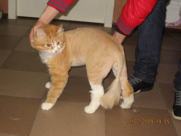 Сибирская кошка: уход за шерстью, глазами, ушами и зубами (фото), как ухаживать за шерстью сибирской кошки? как нужно купать сибирскую кошку?