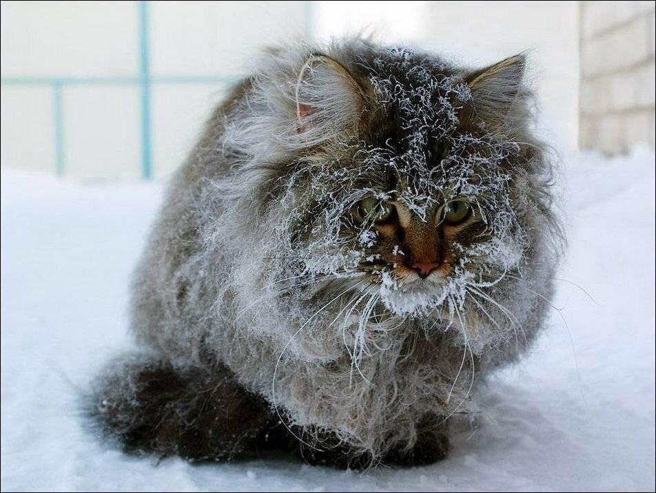 При какой температуре мерзнут кошки?