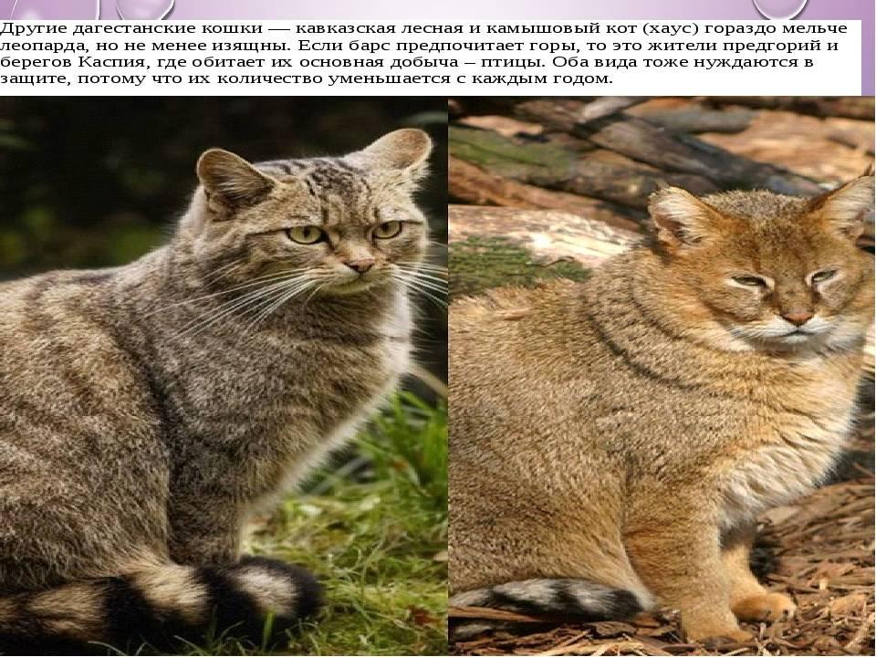 Дикий лесной кот, пра-пра-пра... дедушка всех наших васек и мурок