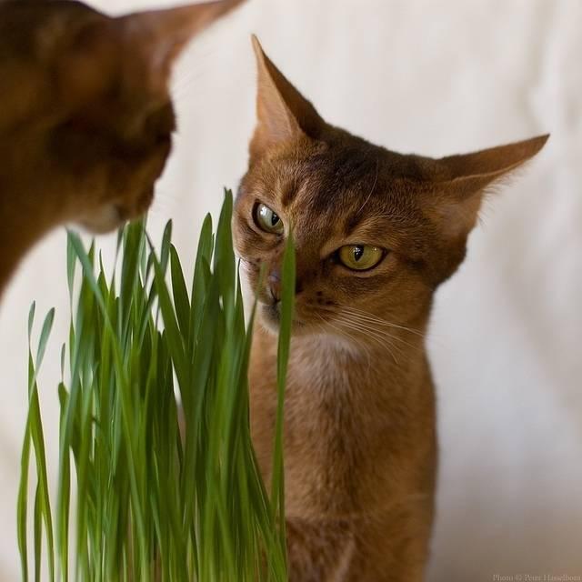 Трава для кошек. зачем трава кошкам? выращивание травы для кошек