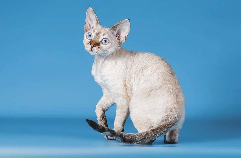 Порода кошек рекс — описание и характеристики