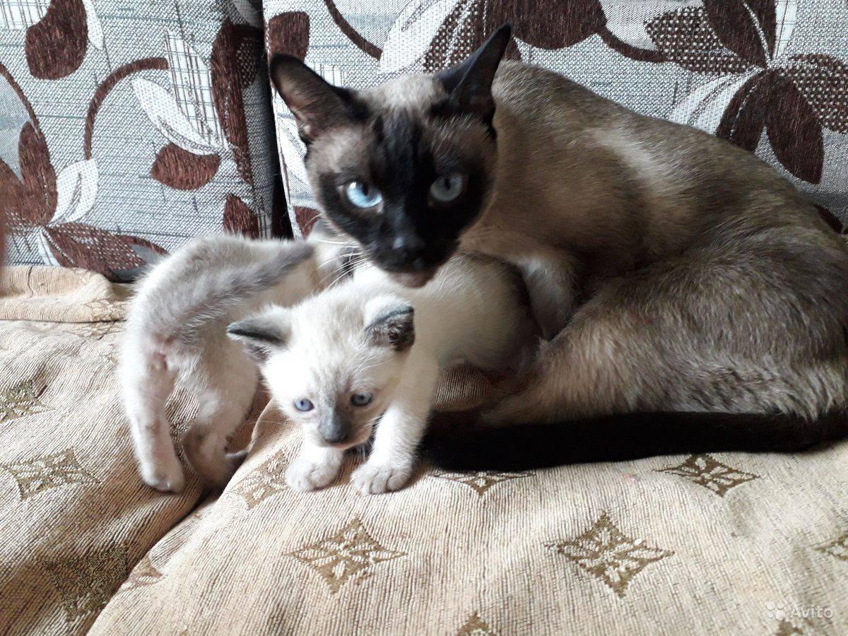 Описание породы сиамской кошки и кота с фото: сколько живут в домашних условиях, характер, чем кормить котят, разновидности и видео