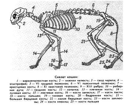 Особенности строения кошачьего скелета