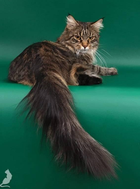 Мейн-кун: история породы, характер и уход - новости о кошках