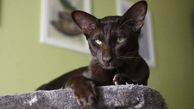 Ориентальная кошка – зеленоглазая «азиатка» с ушами-опахалами