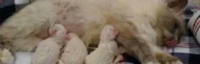 Роды у кошек: поэтапное описание процесса от начала до конца, помощь и уход за кошкой после родов, признаки скорых родов
